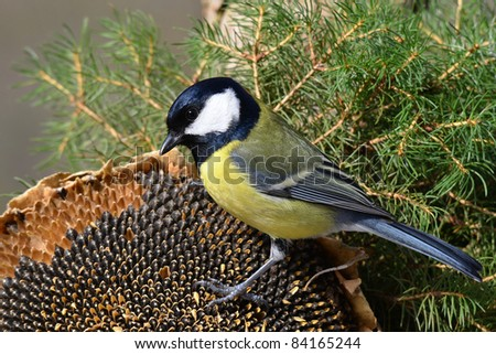great tit with sunflower seed - stock photo
