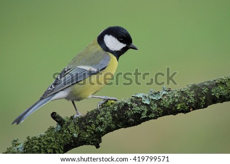Great titmouse, (Parus major)