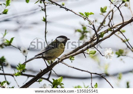 Great titmouse (Parus major) on a branch - stock photo