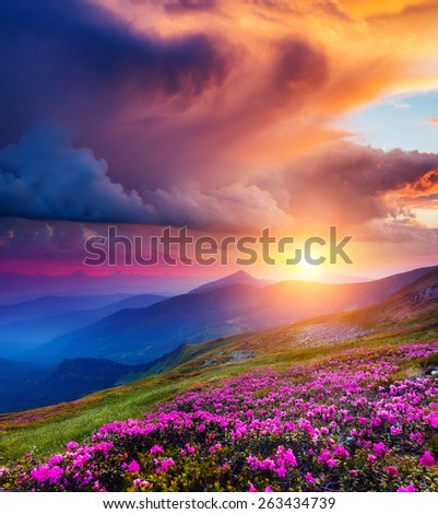 Great view of the magic pink rhododendron flowers on summer mountain. Dramatic overcast sky before the storm. Carpathian, Ukraine, Europe. Beauty world. - stock photo