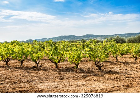 Great vineyard landscape with the ripe grape ready to harvest. - stock photo