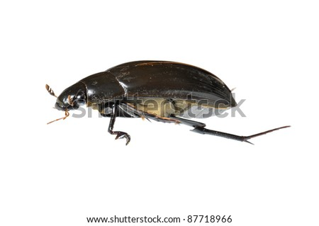 Great Water Beetle (Hydrophilus piceus) isolated on white - stock photo