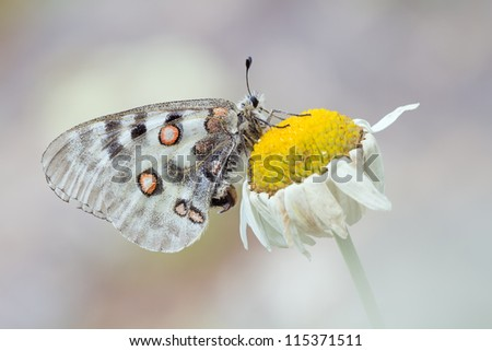 great white butterfly Mountain apollo on a marguerite  - Parnassius apollo - stock photo