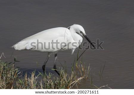 Great White Egret bird - stock photo