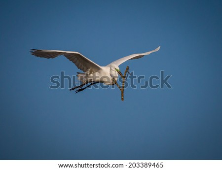 Great white egret brings large twig for nest - stock photo
