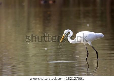 Great White Egret Egretta alba ardeide bird hunting in the marsh aquatic fish and shellfish wildlife oasis of Torrile lipu parma Emilia Romagna - stock photo