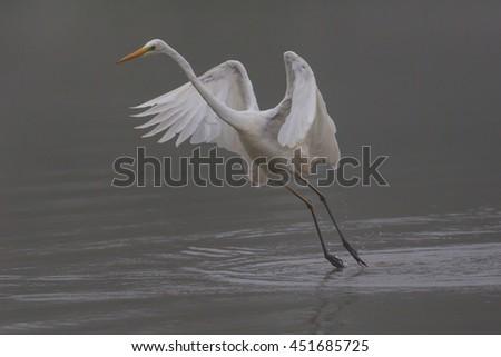 Great white egret (egretta alba) during takeoff - stock photo