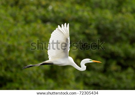 Great white egret flying against green mangrove background - stock photo