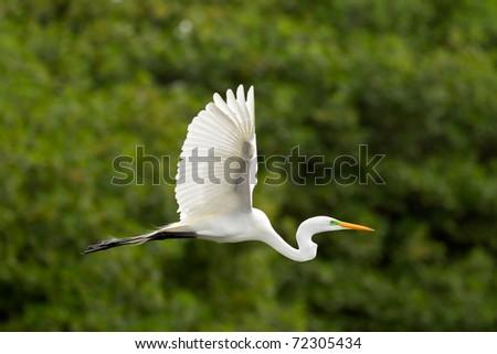 Great white egret flying against green mangrove background - stock photo