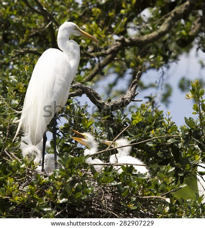 Great White Egret Heron Crane and Baby Birds - stock photo