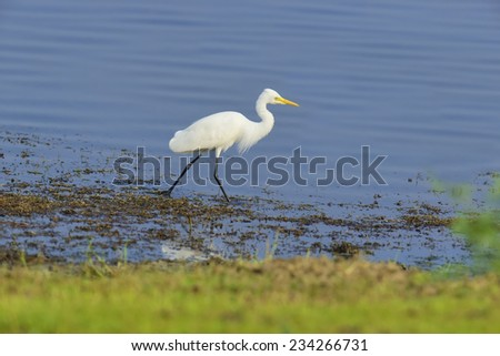 Great white egret in a pond  - stock photo
