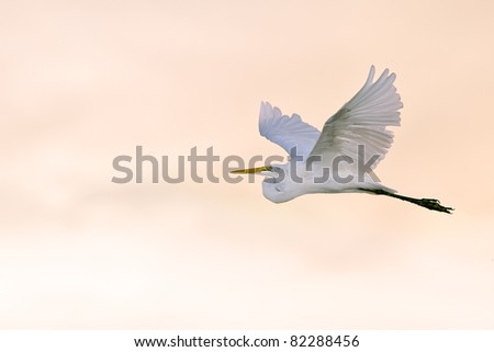 great white egret in flight at dawn over florida wetland