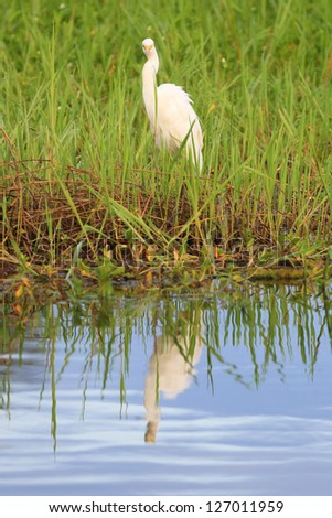 Great White Egret in Kakadu National Park - stock photo