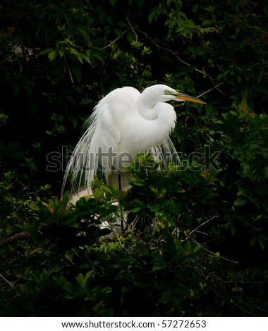 Great White Egret in Nest - stock photo