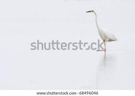 Great White Egret in shallow water in mist