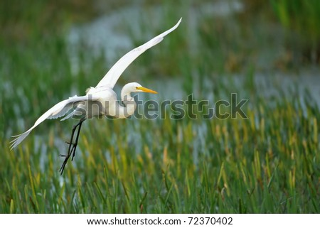 great white egret landing in grassy reeds of florida wetland at dawn - stock photo