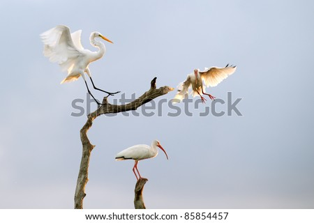great white egret lands on snag in florida wetland, backlit by morning sun - stock photo
