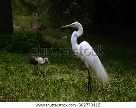 great white egret on a background of green grass and ibis bird and behind. Big and small - stock photo