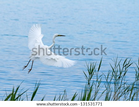 Great White Egret over the lake - stock photo
