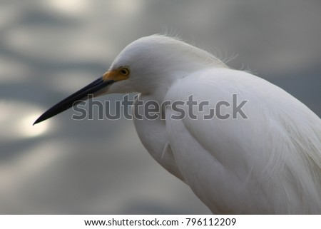 Great white egret portrait profile with blurred background