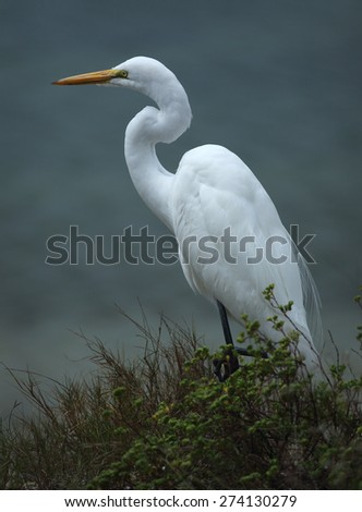 Great white egret standing on the shoreline at Fort De Soto State Park, St. Petersburg, Florida. The Gulf of Mexico is in the background. Scientific name is Ardea alba.  - stock photo