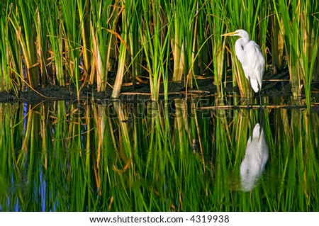 great white egret stands against sawgrass in wildlife refuge pond of everglades ecosystem - stock photo
