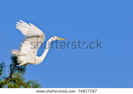 great white egret takes flight from cypress tree against clear blue florida morning sky - stock photo
