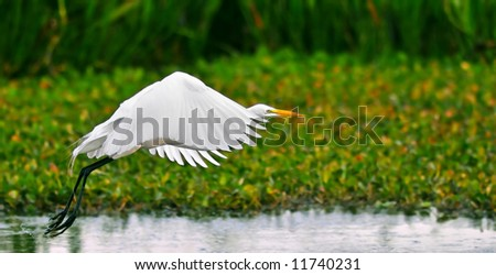 great white egret takes flight in wetland pond