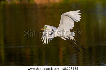 Great white egret taking off, wings spread - stock photo