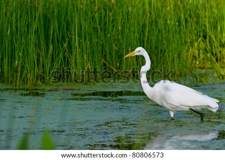 great white egret wades in florida wetland - stock photo