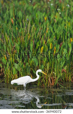 great white egret wades in florida wetland pond - stock photo