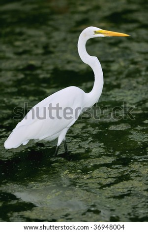 great white egret wades in florida wetland pond