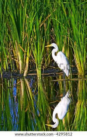 great white egret wades in south florida wildlife refuge - stock photo