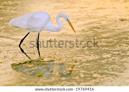 great white egret wading in marsh pond at dawn with golden reflections on water