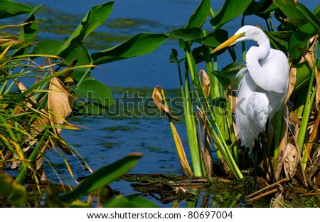 great white egret with dramatic natural sunlight in florida wetland pond
