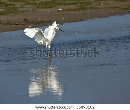 Great White Heron running  with wings spread - stock photo