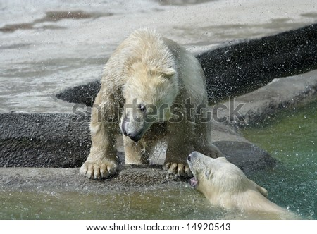 Great white north bear. Russian nature, wilderness world.