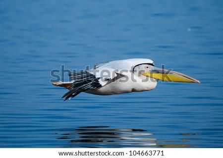 Great White Pelican flying low across Lake Nakuru in Kenya. - stock photo