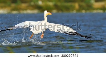 Great white pelican flying over the lake, Kenya, Africa - stock photo