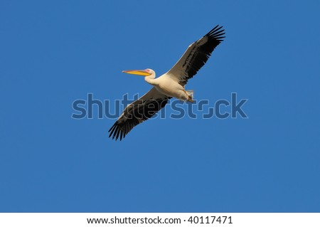 Great White Pelican In Flight preparing to land to the waterhole