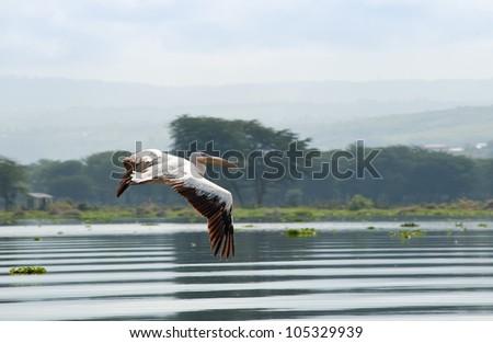 Great White Pelican, Kenya - stock photo