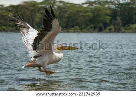 Great white pelican (Pelecanus onocrotalus) in flight at Lake Naivasha, Kenya - stock photo