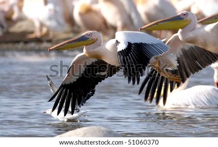 Great White Pelican (Pelecanus onocrotalus), lake Nakuru, Kenya - stock photo