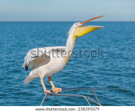 Great white Pelican sitting on the post - Namibia, South Africa - stock photo