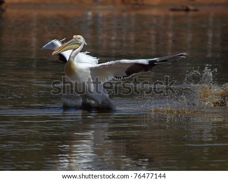 Great White Pelican  taking off from water - stock photo