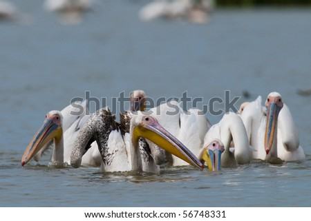 Great White Pelicans Flock fishing
