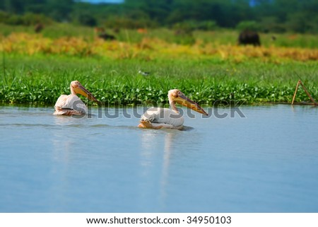 great white pelicans on the lake Naivasha. Africa. Kenya - stock photo