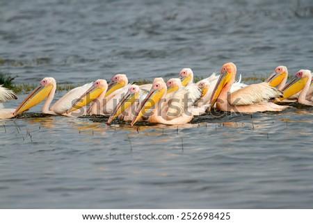 Great white pelicans (Pelecanus onocrotalus) swimming, Lake Nakuru National Park, Kenya - stock photo