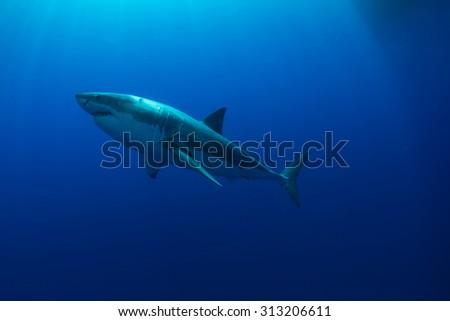 Great White Shark - stock photo