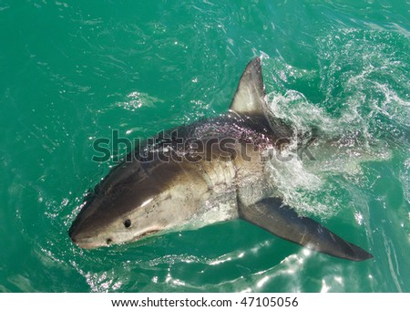 Great White Shark breaks the surface - stock photo